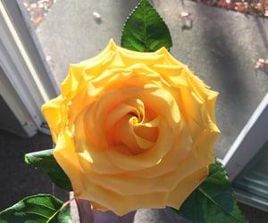 flower, petal, and rose image
