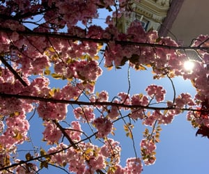 beauty, cherry blossoms, and flowers image