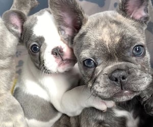 animals, dogs, and frenchie image
