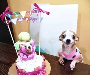 chihuahua, dog, and cute image