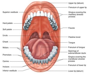 anatomy, oral, and notes image