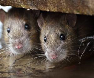 rat control liverpool image