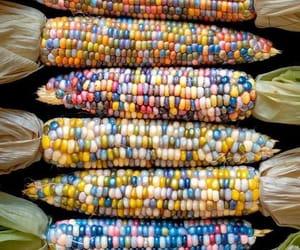 organic indian corn image
