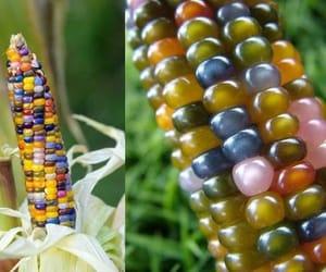 organic indian and corn seeds image
