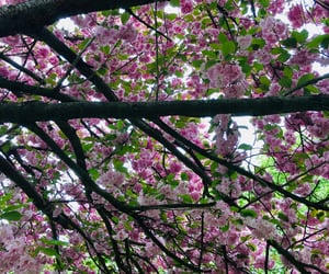 blossom, spring, and cherrytree image