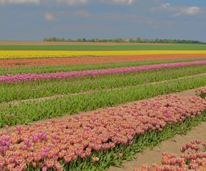 aesthetic, flower field, and tulips image
