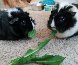 eating, guinea pigs, and pets image