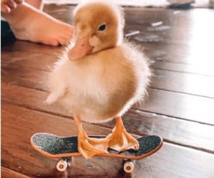 animals, duck, and skateboard image