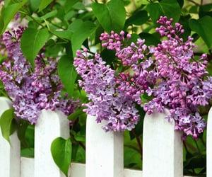 lilacs image