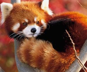 Red panda, animal, and panda image