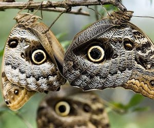 owl butterflies image