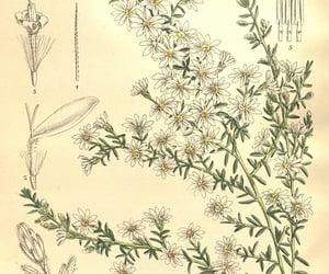 botanical illustration, artist:name=matilda smith, and artist:viaf=48272868 image