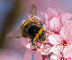 bees, bumble bee, and cherry blossom image