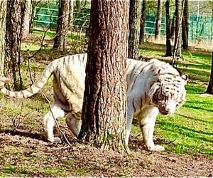 tiger, safari, and wildkatze image