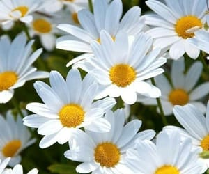 bloom, flower, and daisy image