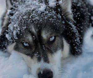 blue eyes, dog, and husky image