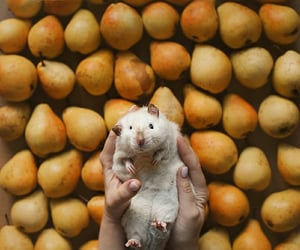 FRUiTS, pear, and rat image