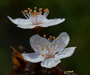 branch, cherry, and flower image
