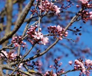branches, pink, and cherry image