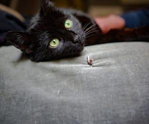 animal, black cat, and cat image