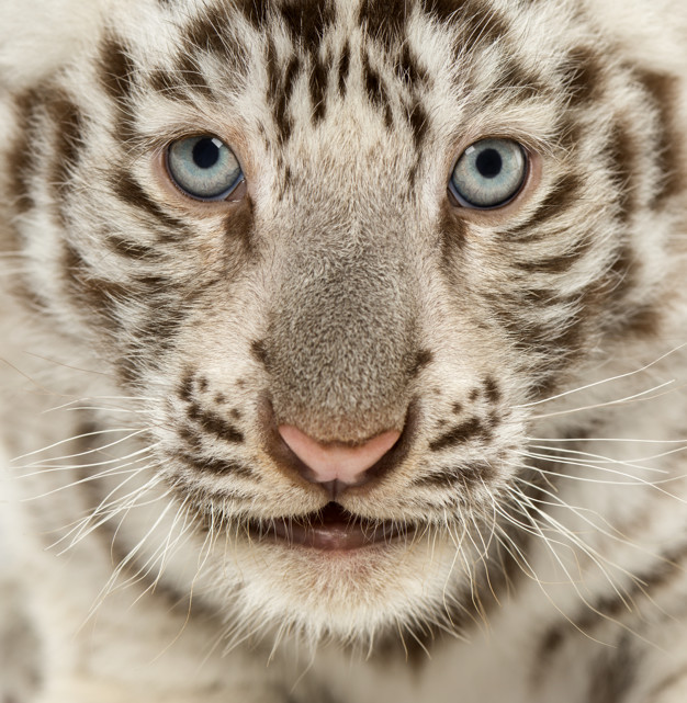 article and white tiger image