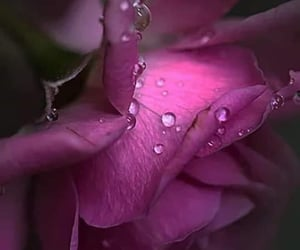 The rose after the rain
