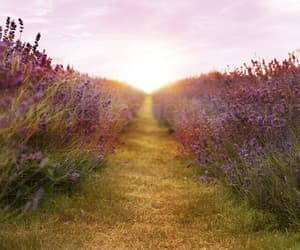 beautiful, lavender, and light image