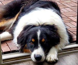 animals, pets, and bernese image