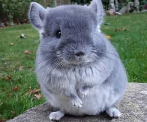 One baby chinchilla