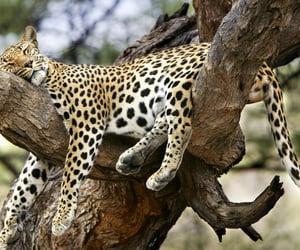 animals, leopar, and hayvanlar image