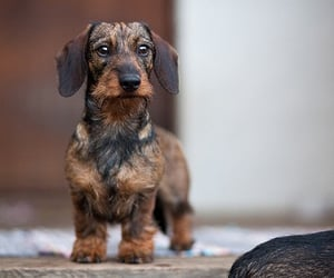 animals, dachshund, and doxie image