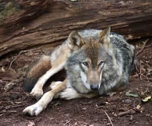 Beautiful Grey Wolf