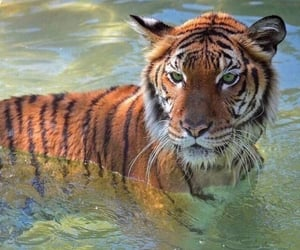 tiger, animal, and theme image