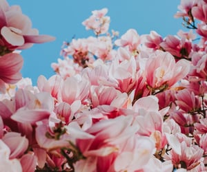 background, flowers, and magnolia image