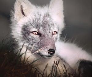 Artic Fox in Finland