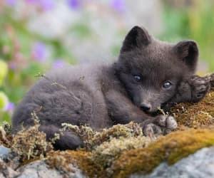 Beautiful Arctic Fox Cub, Iceland