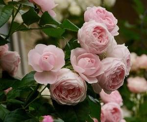 Dusky Pink Blooms