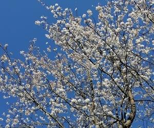 cherryblossom, nature, and sakura image