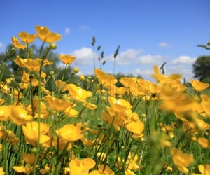 Landscape, a field of many blooming ... | Stock image | Colourbox