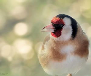 Elegant goldfinch -- Moselle.
