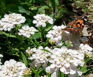 annual, butterflies, and candytuft image