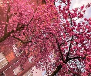 blossom, pink, and springtime image
