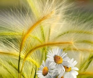 wheat field and daisy image