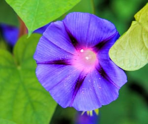 morning glory, flowers, and fleurs image