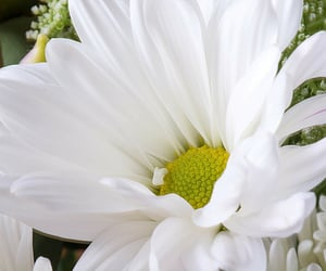 daisy, flowers, and fleurs image