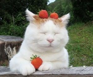 strawberry cat 🍓