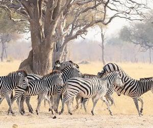 Zebras at Hwange NP - Zimbabwe