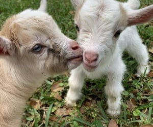 cute animals, goats, and love image