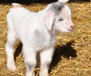 Baby Goat Just Checking Out the New World