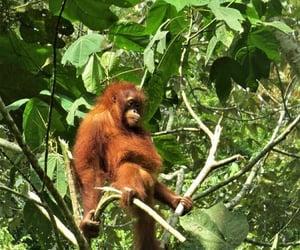 animal, indonesia, and monkey image
